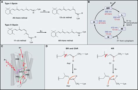 The Microbial Opsin Family of Optogenetic Tools: Cell