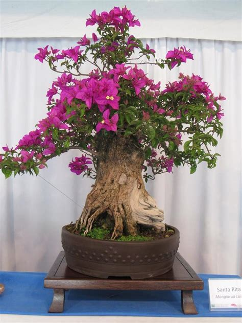 177 best Bugenwilla images on Pinterest | Bonsai trees