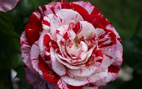3 Peppermint Rose HD Wallpapers   Background Images